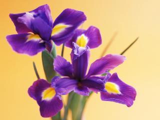 обои Сиреневые цветочки фото