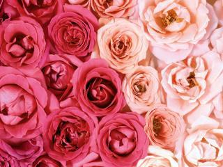 обои Смесь розовых и красных роз фото