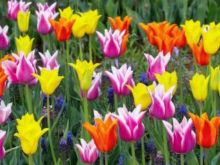 обои Цветные тюльпаны фото