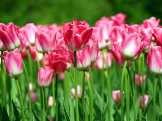 обои Ярко-розовые тюльпаны фото