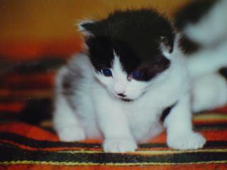 обои Черно-белый котенок фото