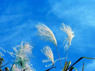 обои Пушистые, белые колосья на ветру в ясный день фото