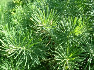 обои Мохнатые, зелёные иголки растения фото