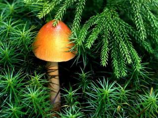 обои Ярко-оранжевый грибок спрятался среди мохнатых лап фото