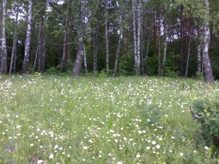обои Ромашковое поле, лес фото