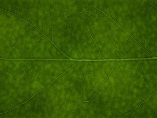 обои Крупный снимок хлороформа в жилах листа фото