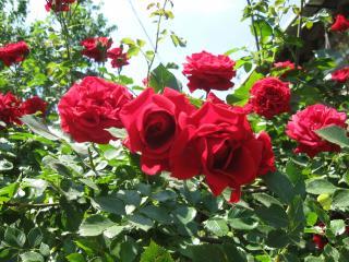 обои для рабочего стола: Кусты роз
