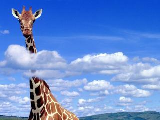 обои Жираф в небе фото