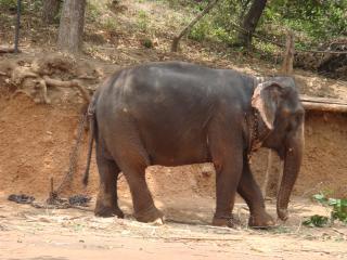 обои Настоящий индийский слон. Гоа фото