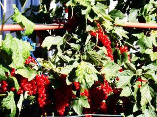обои Красные плоды из Германии - Берлин фото