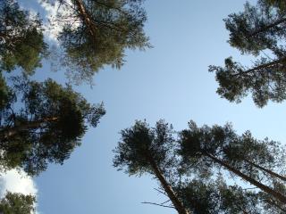 обои Небо и сосны фото