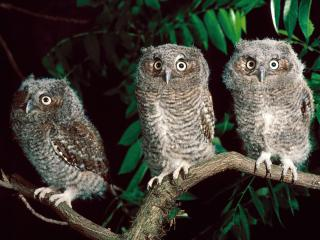 обои Trio of screech owls,pennsylvania фото
