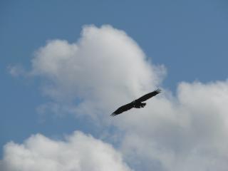 обои Орел в небе фото