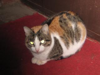обои Глазастый котяра фото