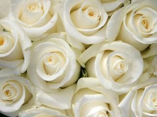 обои Белые розы фото