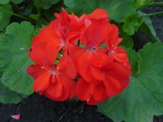 обои Алый цветок фото