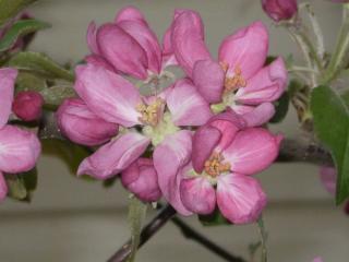 обои Яблоневый цвет фото
