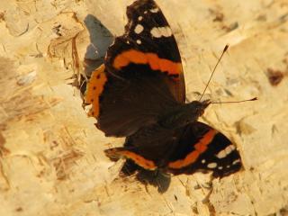 обои Красивая бабочка фото