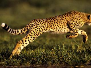 обои Гепард в прыжке фото