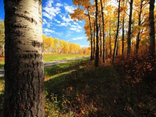 обои Желтые деревья вдоль дороги фото