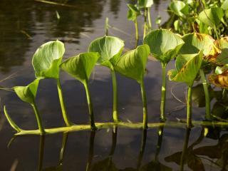 обои Болотное растение фото
