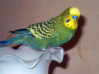 обои Волнистый попугайчик Петя фото