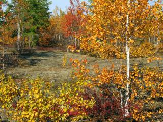 обои Золотая осень в берёзовом, красивом лесу фото