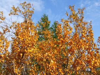 обои Дерево, одетое в осенний наряд фото
