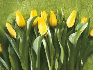 обои Желтые тюльпаны фото