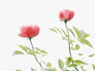обои Цветы для любимых женщин фото