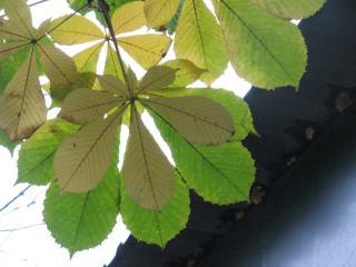 обои Пожелтевшие листья каштана фото