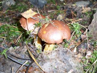 обои Два гриба засыпанные веточками фото