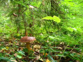 обои Польский гриб фото