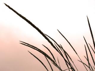 обои Тонкие колосья травинок на ветру фото
