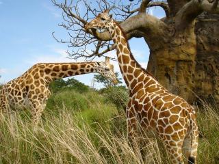обои Африка. жирафы у дерева фото