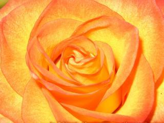 обои Бутон розы фото