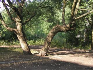 обои Два красивых почти одинаковых дерева ива в парке летом фото