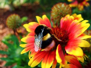 обои Пчела на цветке фото