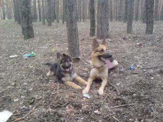 обои Две собаки фото