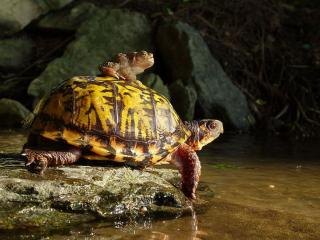 обои Черепаха и жаба фото