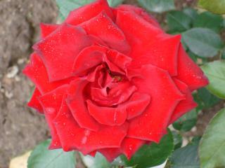 обои Ярко-красный цветок фото