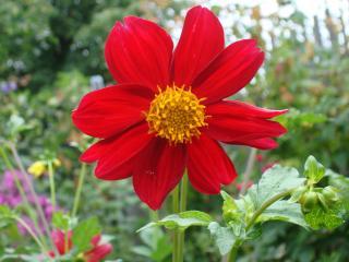 обои Красный цветок с желтой серединкой фото