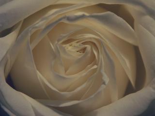 обои для рабочего стола: Красивая роза