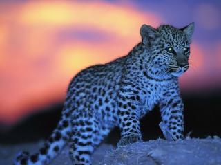 обои Молодой Леопард выходит на охоту фото