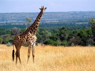 обои Жираф в африке фото