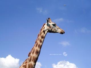 обои Жираф и НЛО фото