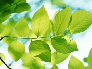 обои Листочки дерева фото