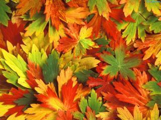 обои Пёстрые осенние листья фото