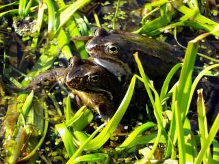 обои Две лягушки фото