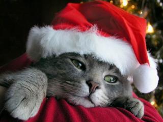 обои Christmas cat фото